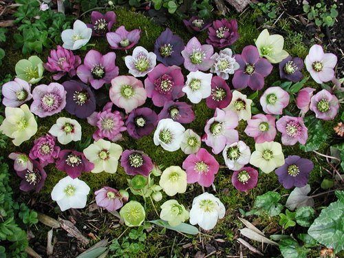 Attic24 Crochet Hellebore Flower